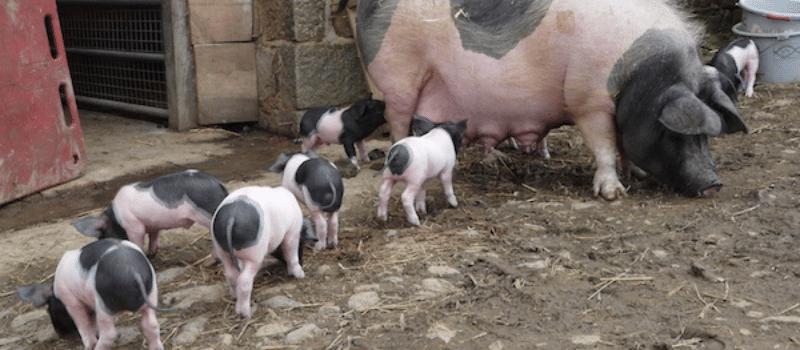 Records d'un mercat medieval inlingua Andorra blogpost pig and her six piglets