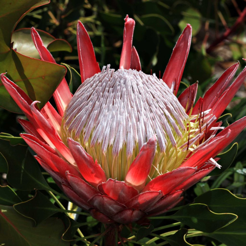 The Queen Protea, a beautiful flower which gorws in South Africa